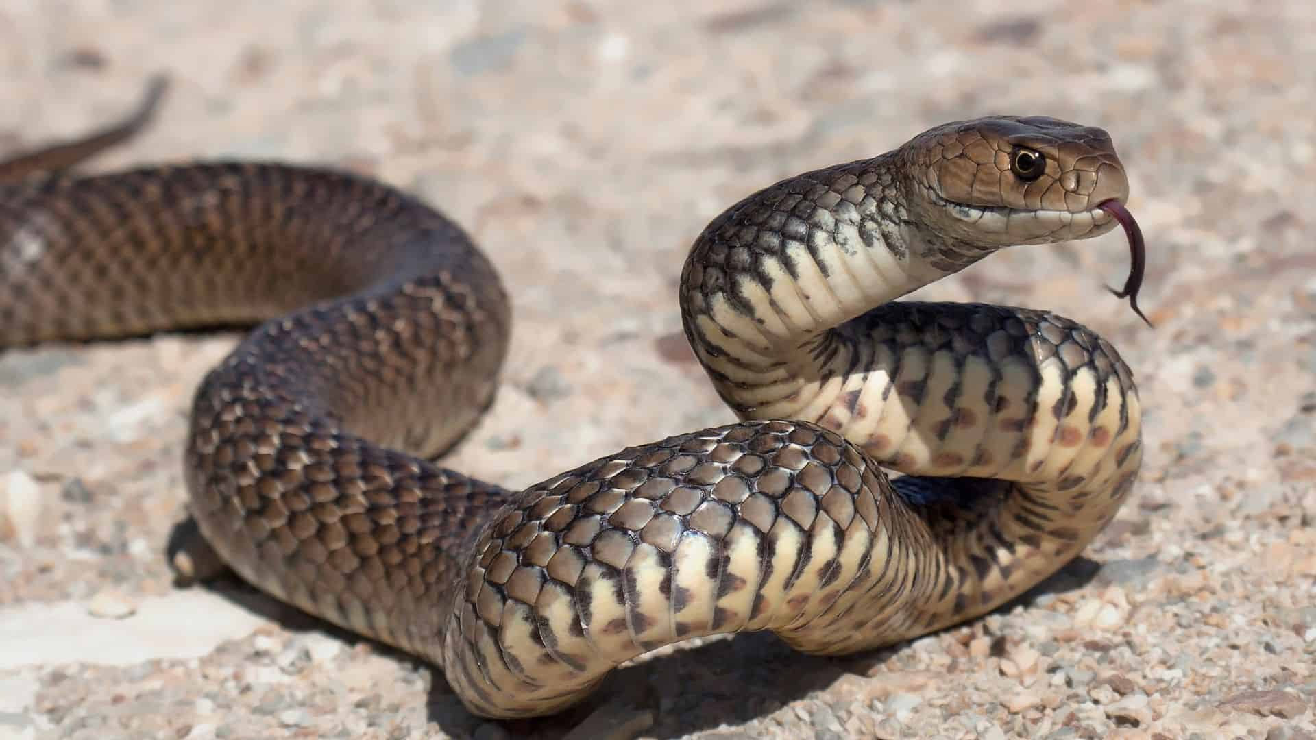 Is it illegal to kill snakes in Australia?